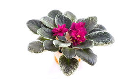 Purple African Violets on a white background Stock Image