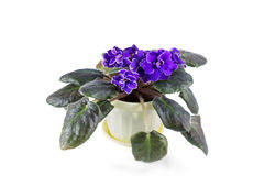 Purple African Violets on a white background Royalty Free Stock Images