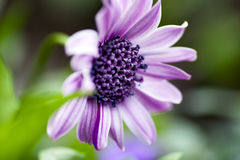 Purple Aftican Daisy Royalty Free Stock Photography