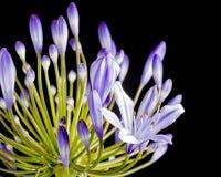 Purple agapanthus Royalty Free Stock Image