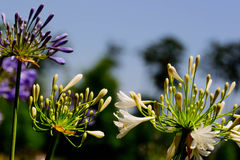 Purple agapanthus in bloom. Outdoor purple agapanthus in spring bloom Stock Photography