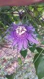 A Unique, Tropical, Flower. Purple Alienlike Flower. A unique flower found growing on a vine in Florida Stock Photo