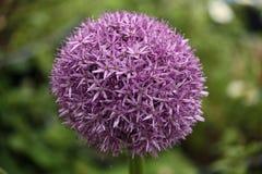 Purple Alium Stock Image