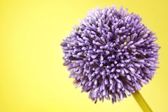 Purple Alium flower on yellow background Stock Image