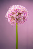 Purple alium onion flower Stock Photos