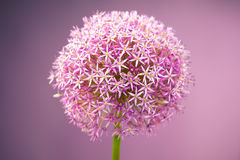 Purple alium onion flower Stock Photo