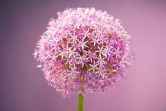Purple alium onion flower Stock Photo