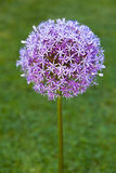 Purple alium onion flower Royalty Free Stock Image