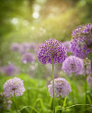 Purple alium onion flower Royalty Free Stock Photos