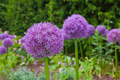 Purple aliums in springtime border Stock Photo
