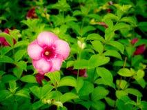 Purple Allamanda Flowers Blooming. The Purple Allamanda Flowers Blooming in The Field stock photo