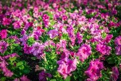 Purple Allamanda flowers. In the garden Stock Photo