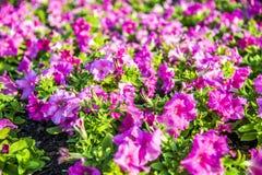 Purple Allamanda flowers. In the garden Royalty Free Stock Photography
