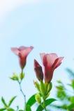 Purple Allamanda In The Garden. Purple Flower Name Allamanda In The Garden Royalty Free Stock Photography