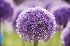 Purple Allium 1 Stock Image