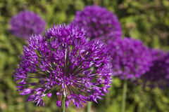Purple Allium Stock Photography