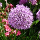 Purple Allium Stock Image