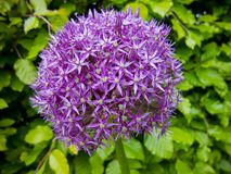 Purple Allium Royalty Free Stock Images