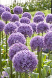Purple Allium 4 Royalty Free Stock Photos