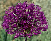 Closeup of large Ornamental Onion Flower  Royalty Free Stock Photo