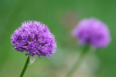 Purple Allium blossom in front of green background Stock Photos