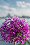 Purple Allium Bursting Royalty Free Stock Photo