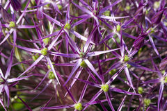 Purple allium flower bloom Royalty Free Stock Photography