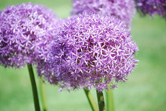 Purple Allium Flower Bulbs Stock Photo