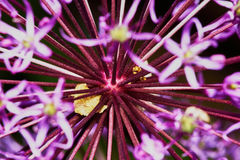Purple Allium Flower Bulbs Royalty Free Stock Photography