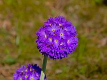 Purple allium flower bulbs Stock Image