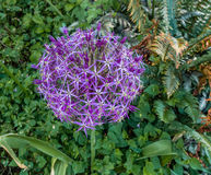 Purple Allium Flower Closeup Stock Photos
