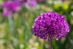 Purple Allium Flower Royalty Free Stock Image