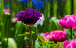 A purple allium flower. Stock Photos