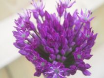Purple Allium flower head, some flowers open. Some not, wooden fence in background stock images