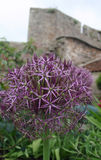 Purple Allium flower Royalty Free Stock Photography