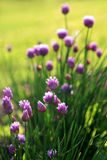 Purple allium flowers. Purple allium flowers in summer day Royalty Free Stock Photo