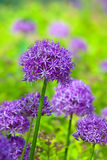 Purple allium flowers at botanic garden Stock Photography