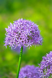 Purple allium flowers at botanic garden Stock Photo