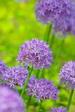 Purple allium flowers at botanic garden Royalty Free Stock Photo