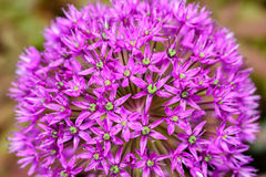 Purple Allium Flowers Royalty Free Stock Photo