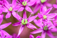 Purple Allium Flowers Royalty Free Stock Photography