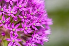 Purple Allium Flowers Stock Photography