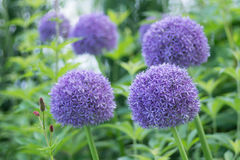 Purple allium flowers. Garden of purple allium flowers Stock Photos
