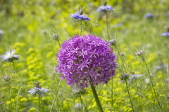 Purple allium flowers Royalty Free Stock Images