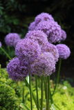 Purple Allium Flowers Stock Images