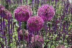 Purple allium flowers sitting in a field. Of english lavender on a sunny day stock photo