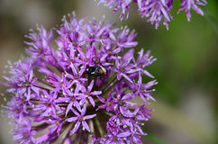 Purple Allium with fly inside petals Royalty Free Stock Images