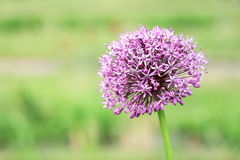 Purple allium. On a green background Royalty Free Stock Photos