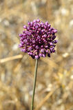 Purple allium plant Stock Photography