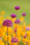 Purple allium with yellow flowers Stock Photos